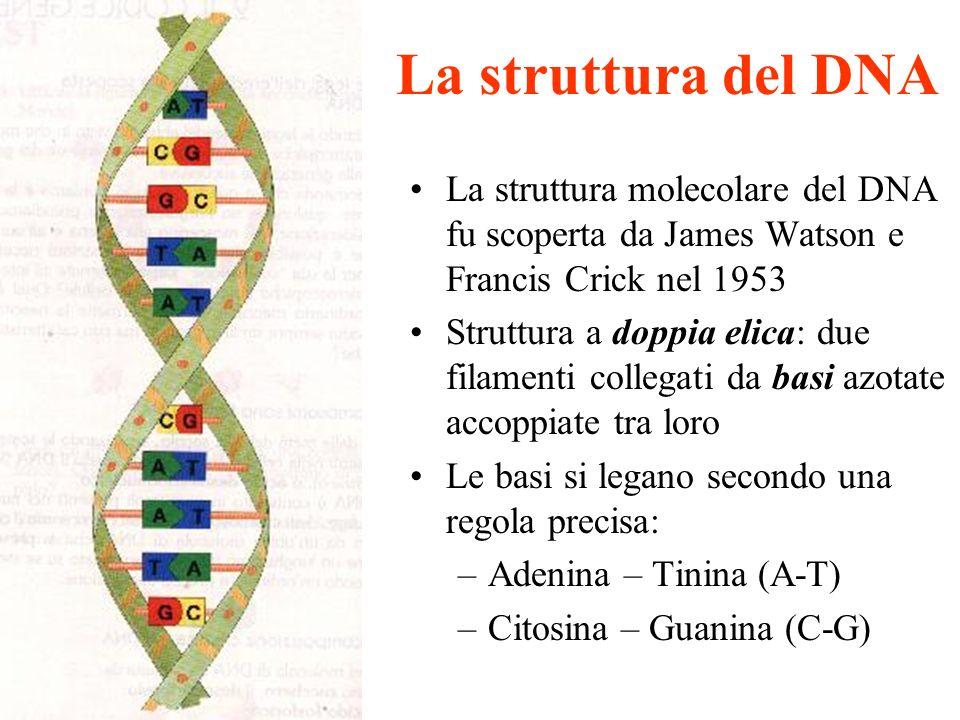 La struttura molecolare del DNA fu scoperta da James Watson e Francis Crick nel 1953 Struttura a doppia elica: due filamenti collegati da basi azotate