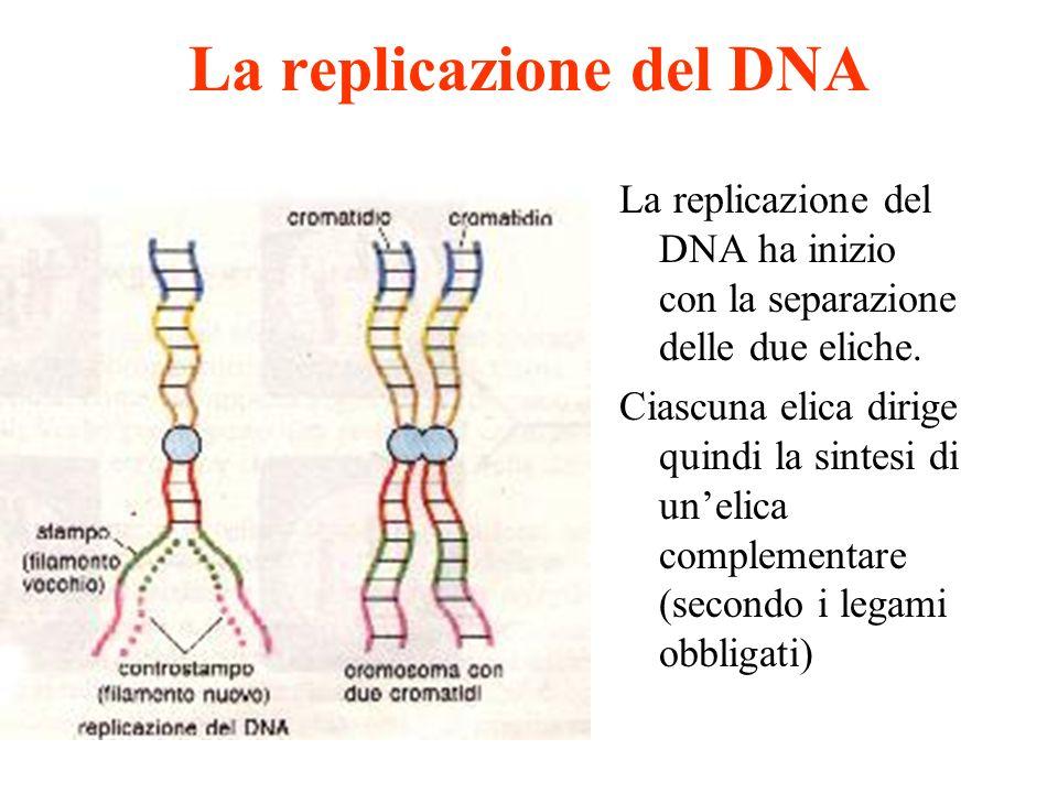 La replicazione del DNA La replicazione del DNA ha inizio con la separazione delle due eliche. Ciascuna elica dirige quindi la sintesi di unelica comp