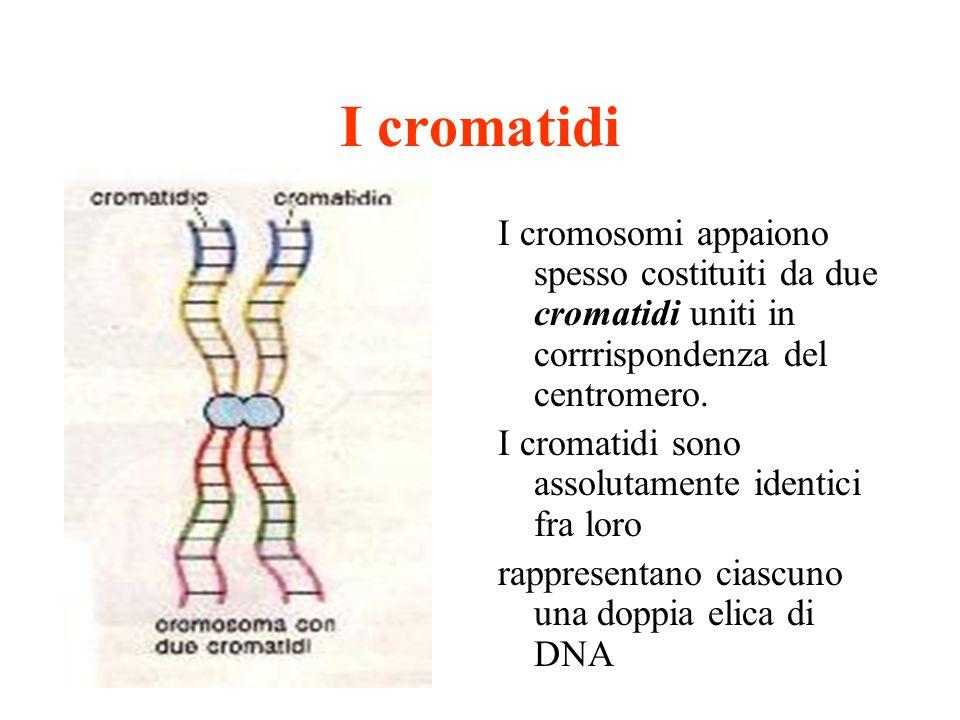 I cromatidi I cromosomi appaiono spesso costituiti da due cromatidi uniti in corrrispondenza del centromero. I cromatidi sono assolutamente identici f
