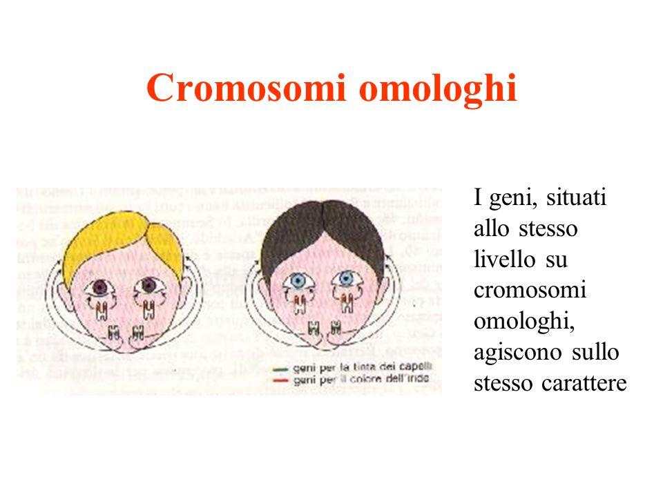Cromosomi omologhi I geni, situati allo stesso livello su cromosomi omologhi, agiscono sullo stesso carattere