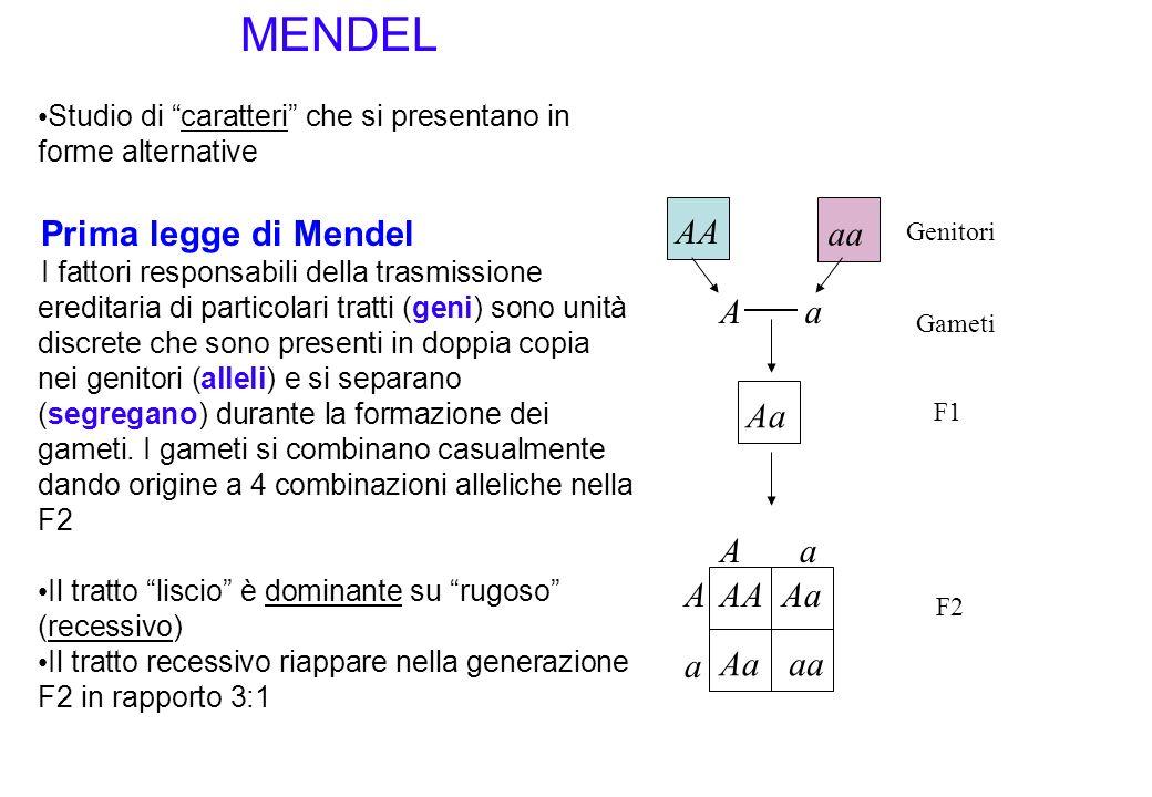 MENDEL Studio di caratteri che si presentano in forme alternative Prima legge di Mendel I fattori responsabili della trasmissione ereditaria di partic