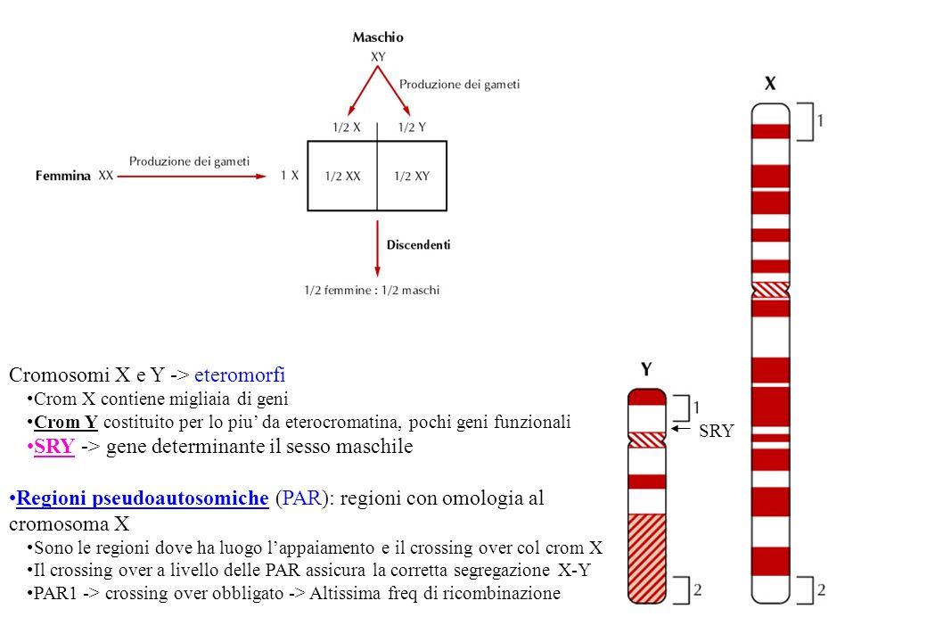 Cromosomi X e Y -> eteromorfi Crom X contiene migliaia di geni Crom Y costituito per lo piu da eterocromatina, pochi geni funzionali SRY -> gene deter