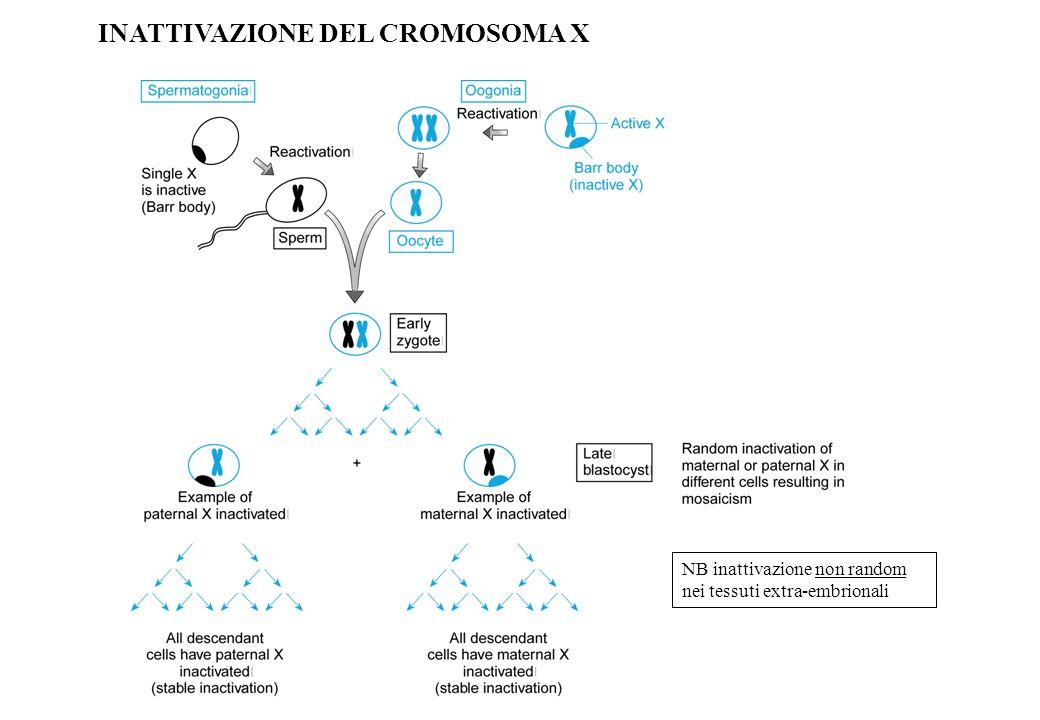 INATTIVAZIONE DEL CROMOSOMA X NB inattivazione non random nei tessuti extra-embrionali