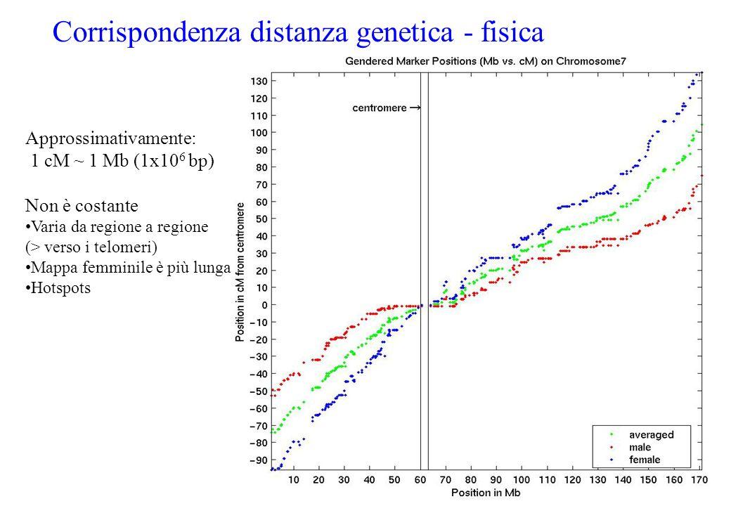 Corrispondenza distanza genetica - fisica Approssimativamente: 1 cM ~ 1 Mb (1x10 6 bp) Non è costante Varia da regione a regione (> verso i telomeri)