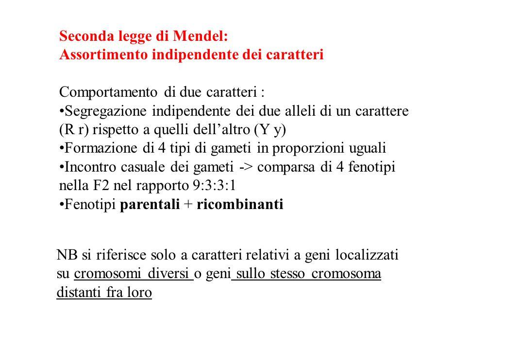 Seconda legge di Mendel: Assortimento indipendente dei caratteri Comportamento di due caratteri : Segregazione indipendente dei due alleli di un carat