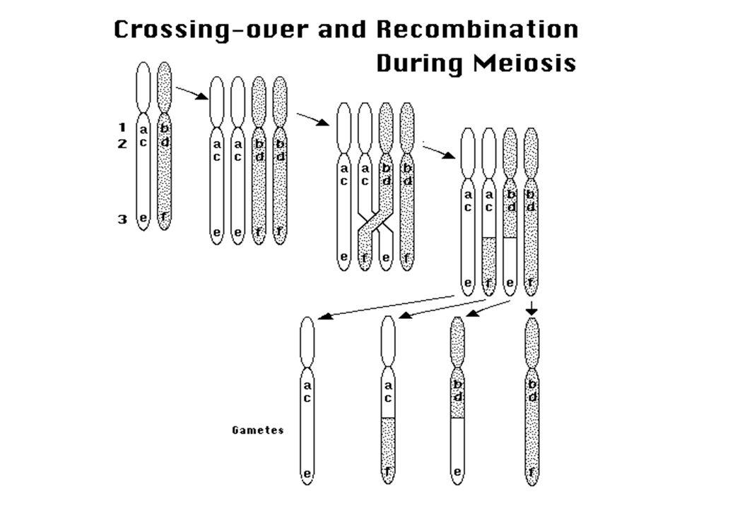 Corrispondenza distanza genetica - fisica Approssimativamente: 1 cM ~ 1 Mb (1x10 6 bp) Non è costante Varia da regione a regione (> verso i telomeri) Mappa femminile è più lunga Hotspots
