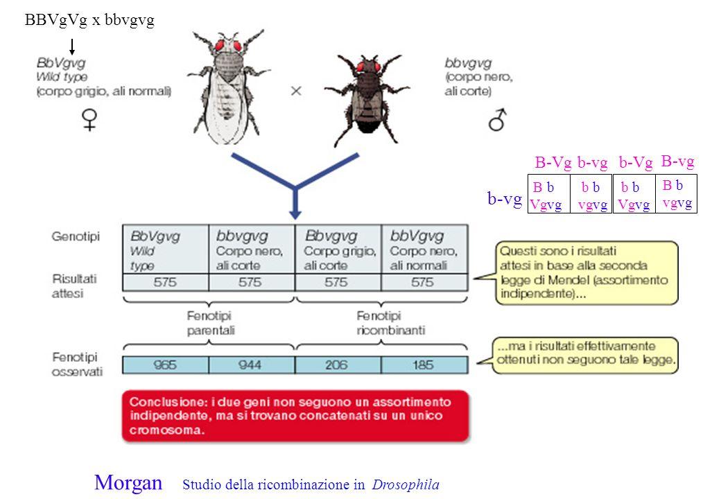 B-Vg b-vg B b Vgvg B-vg b-Vgb-vg B bvg b b Vgvg bvg BBVgVg x bbvgvg Morgan Studio della ricombinazione in Drosophila