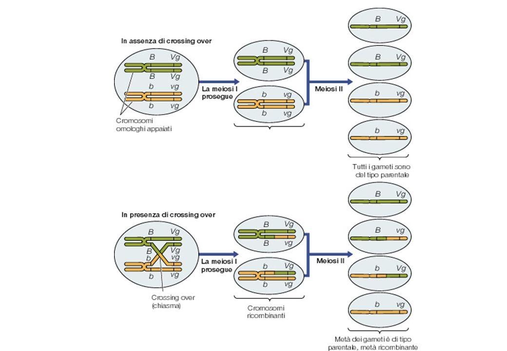 Metodo del LOD SCORE (Metodo della massima verosimiglianza) Confronto della probabilità dei genotipi osservati nelle ipotesi alternative di linkage o assortimento indipendente Ho = i due loci sono indipendenti -> = 0.5 H1 = i due loci sono in linkage -> 0 < < 0.5 Likelihood [L( )] = Probabilità che i dati osservati si verifichino quando la fraz di ricombinaz è Likelihood ratio test: è significativamente < 0.5.