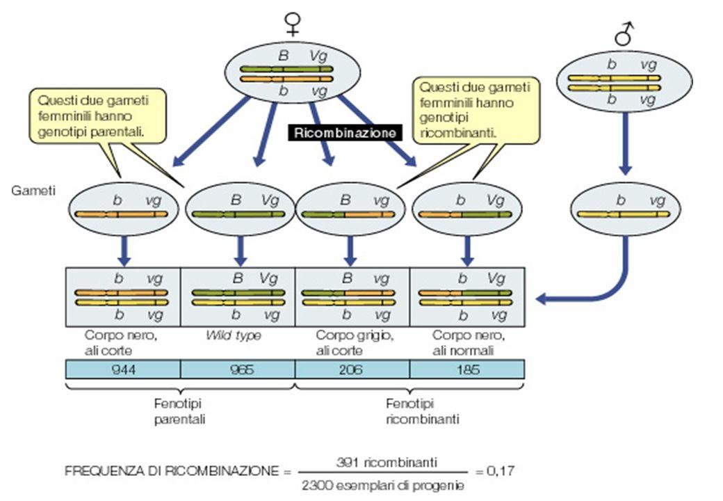 Mappaggio di loci attraverso lanalisi della freq di ricombinazione