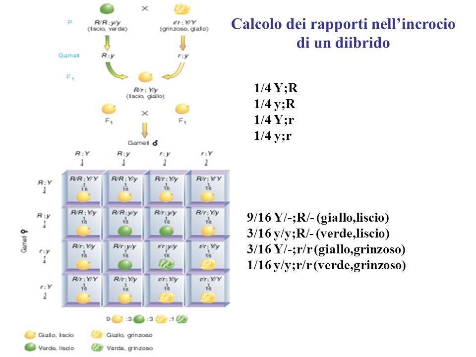 1/4 Y;R 1/4 y;R 1/4 Y;r 1/4 y;r 9/16 Y/-;R/- (giallo,liscio) 3/16 y/y;R/- (verde,liscio) 3/16 Y/-;r/r (giallo,grinzoso) 1/16 y/y;r/r (verde,grinzoso)