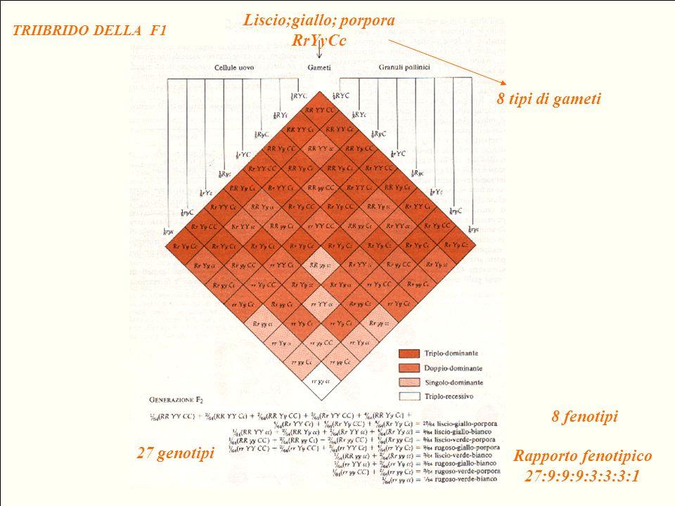 Rapporto fenotipico 27:9:9:9:3:3:3:1 27 genotipi 8 fenotipi TRIIBRIDO DELLA F1 8 tipi di gameti Liscio;giallo; porpora RrYyCc