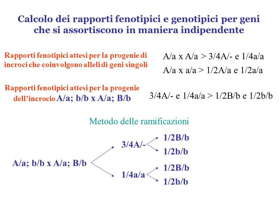 Calcolo dei rapporti fenotipici e genotipici per geni che si assortiscono in maniera indipendente Rapporti fenotipici attesi per la progenie di incroc
