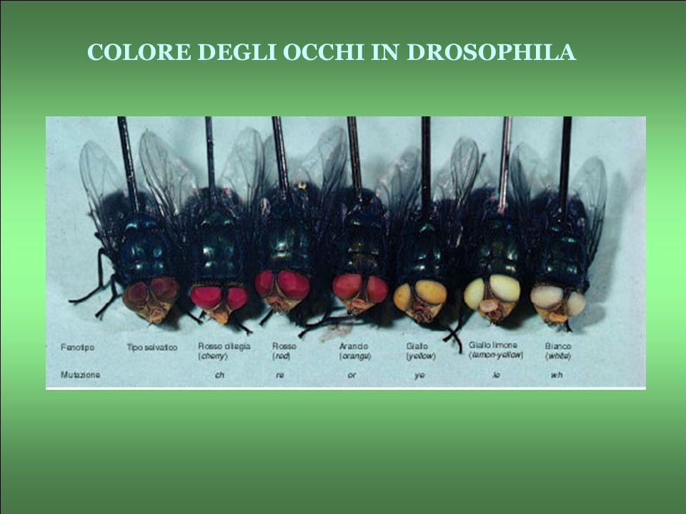 COLORE DEGLI OCCHI IN DROSOPHILA