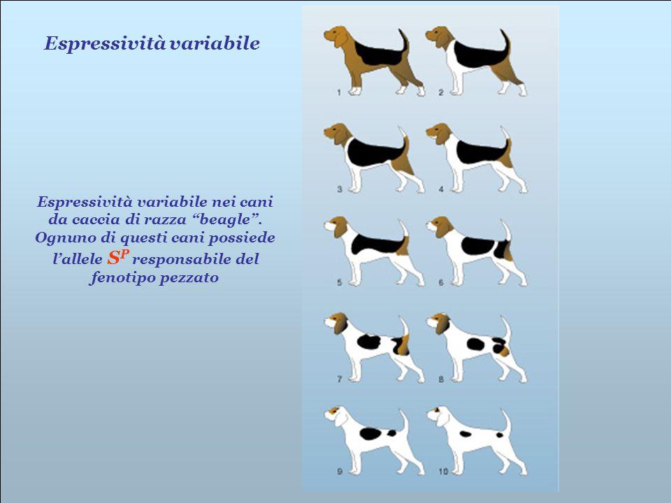 Espressività variabile nei cani da caccia di razza beagle. Ognuno di questi cani possiede lallele S P responsabile del fenotipo pezzato Espressività v
