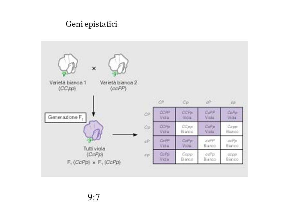 9:7 Geni epistatici