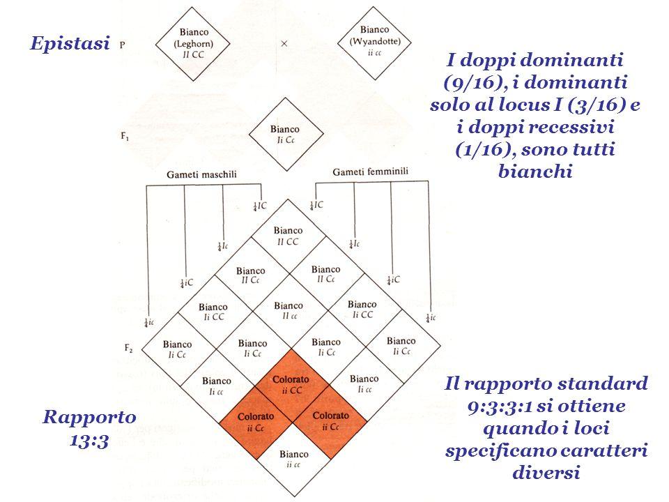 Epistasi Rapporto 13:3 Il rapporto standard 9:3:3:1 si ottiene quando i loci specificano caratteri diversi I doppi dominanti (9/16), i dominanti solo