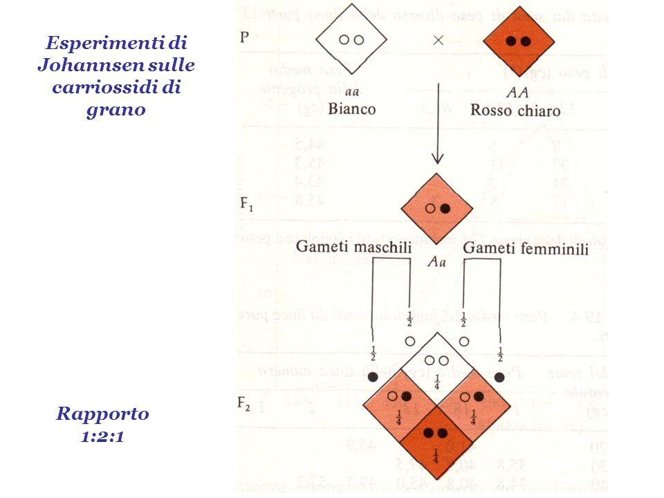 Esperimenti di Johannsen sulle carriossidi di grano Rapporto 1:2:1
