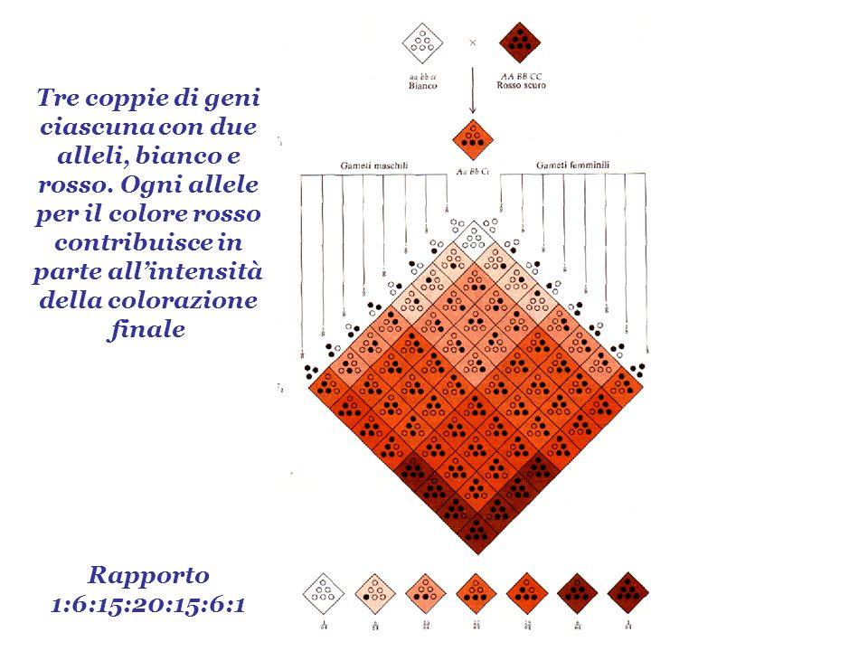 Rapporto 1:6:15:20:15:6:1 Tre coppie di geni ciascuna con due alleli, bianco e rosso. Ogni allele per il colore rosso contribuisce in parte allintensi