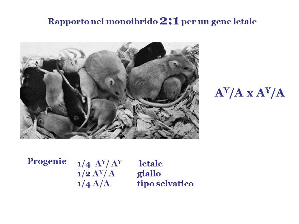 A Y /A x A Y /A Rapporto nel monoibrido 2:1 per un gene letale Progenie 1/4 A Y / A Y letale 1/2 A Y / Agiallo 1/4 A/Atipo selvatico