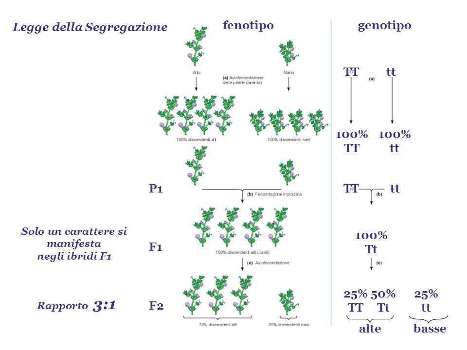 Legge della Segregazione Rapporto 3:1 P1 F1 F2 Solo un carattere si manifesta negli ibridi F1 TTtt 100% TT 100% tt TTtt 100% Tt 25% TT 50% Tt 25% tt a