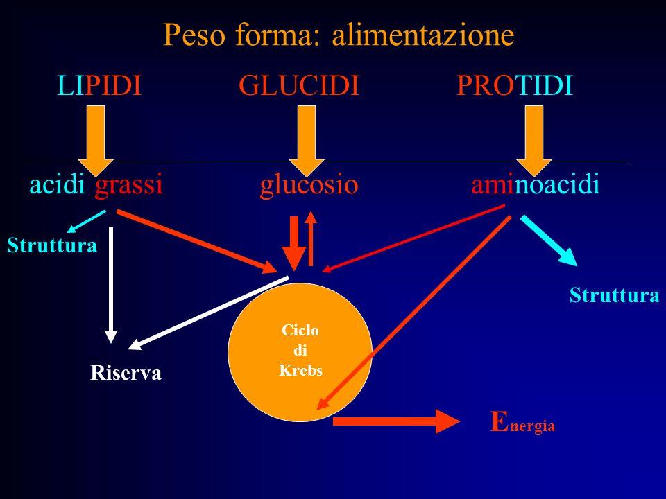 Peso forma: alimentazione acidi grassi glucosio aminoacidi E nergia Ciclo di Krebs Struttura Riserva LIPIDI GLUCIDI PROTIDI