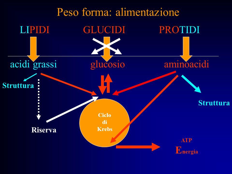 Peso forma: alimentazione acidi grassi glucosio aminoacidi ATP E nergia Ciclo di Krebs Struttura Riserva LIPIDI GLUCIDI PROTIDI