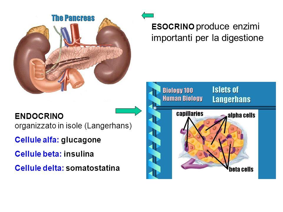 ESOCRINO produce enzimi importanti per la digestione ENDOCRINO organizzato in isole (Langerhans) Cellule alfa: glucagone Cellule beta: insulina Cellul