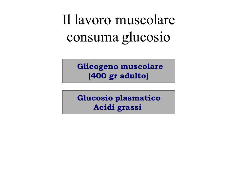 Il lavoro muscolare consuma glucosio Glicogeno muscolare (400 gr adulto) Glucosio plasmatico Acidi grassi