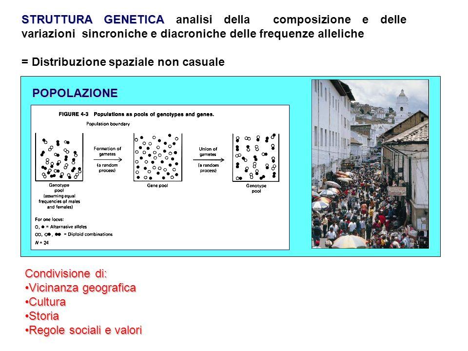STRUTTURA GENETICA STRUTTURA GENETICA analisi della composizione e delle variazioni sincroniche e diacroniche delle frequenze alleliche = Distribuzion