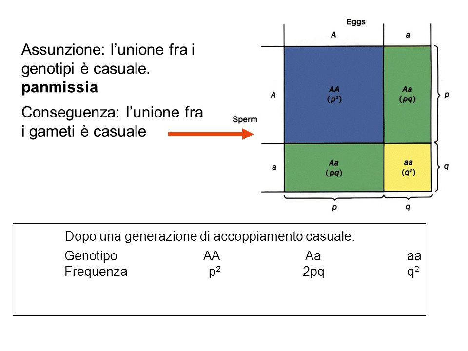 Assunzione: lunione fra i genotipi è casuale. panmissia Conseguenza: lunione fra i gameti è casuale Dopo una generazione di accoppiamento casuale: Gen