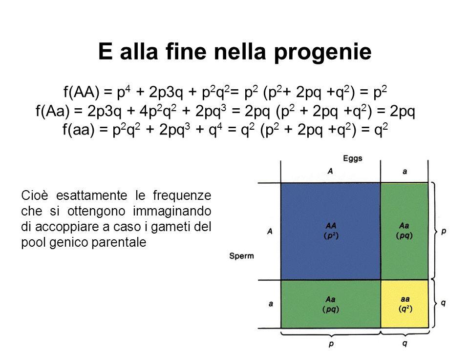 f(AA) = p 4 + 2p3q + p 2 q 2 = p 2 (p 2 + 2pq +q 2 ) = p 2 f(Aa) = 2p3q + 4p 2 q 2 + 2pq 3 = 2pq (p 2 + 2pq +q 2 ) = 2pq f(aa) = p 2 q 2 + 2pq 3 + q 4