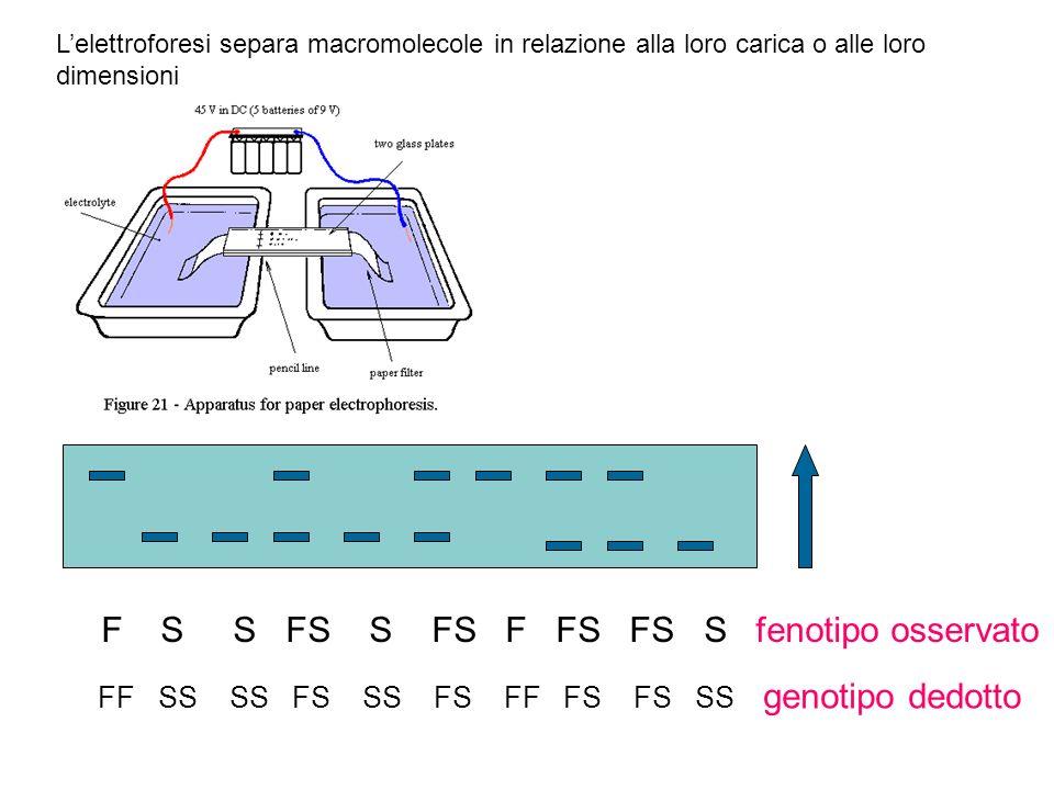 Lelettroforesi separa macromolecole in relazione alla loro carica o alle loro dimensioni F S S FS S FS F FS FS S fenotipo osservato FF SS SS FS SS FS