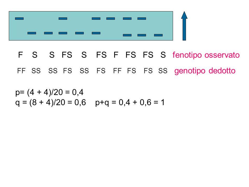 F S S FS S FS F FS FS S fenotipo osservato FF SS SS FS SS FS FF FS FS SS genotipo dedotto p= (4 + 4)/20 = 0,4 q = (8 + 4)/20 = 0,6 p+q = 0,4 + 0,6 = 1