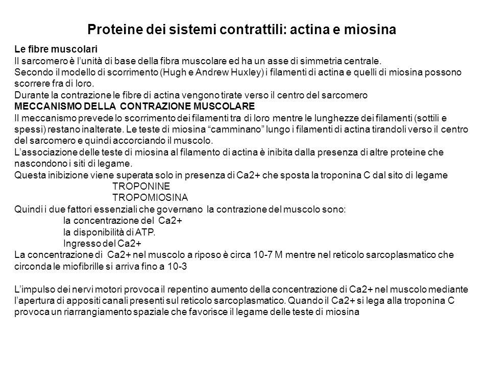 Proteine dei sistemi contrattili: actina e miosina Le fibre muscolari Il sarcomero è lunità di base della fibra muscolare ed ha un asse di simmetria c