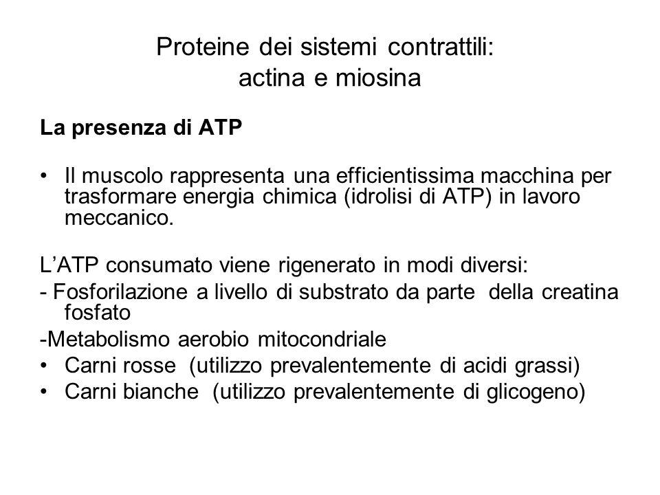 Proteine dei sistemi contrattili: actina e miosina La presenza di ATP Il muscolo rappresenta una efficientissima macchina per trasformare energia chim