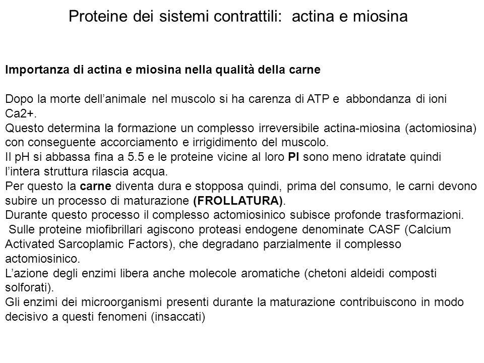 Proteine dei sistemi contrattili: actina e miosina Importanza di actina e miosina nella qualità della carne Dopo la morte dellanimale nel muscolo si h