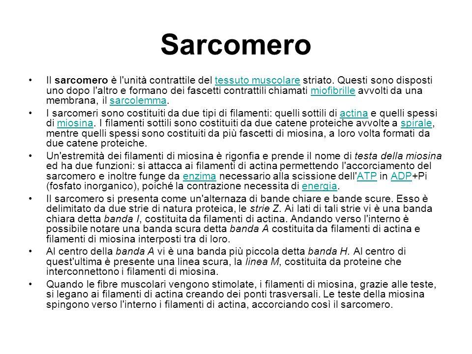 Sarcomero Il sarcomero è l'unità contrattile del tessuto muscolare striato. Questi sono disposti uno dopo l'altro e formano dei fascetti contrattili c