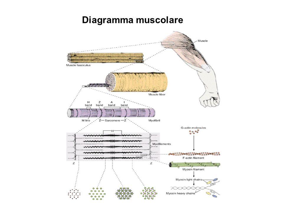 MiOFIBRILLE INTORNO A OGNI MIOFIBRILLA, cioè tra miofobrille Granuli di glicogeno Reticolo sarcoplasmico Mitocondri energia Controllo Miofilamenti generano sforzo