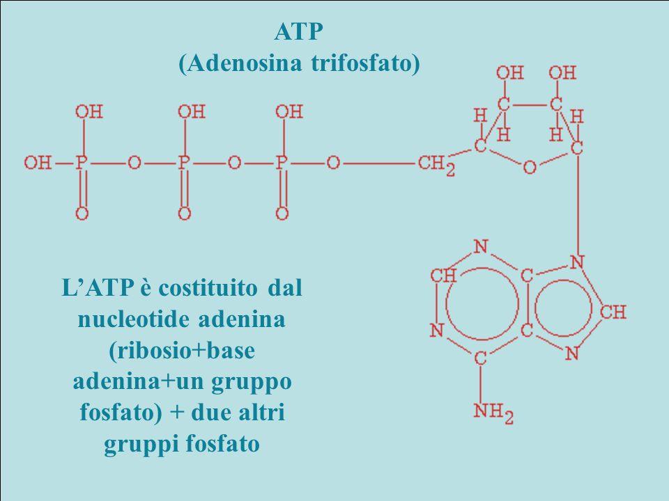 ATP (Adenosina trifosfato) LATP è costituito dal nucleotide adenina (ribosio+base adenina+un gruppo fosfato) + due altri gruppi fosfato