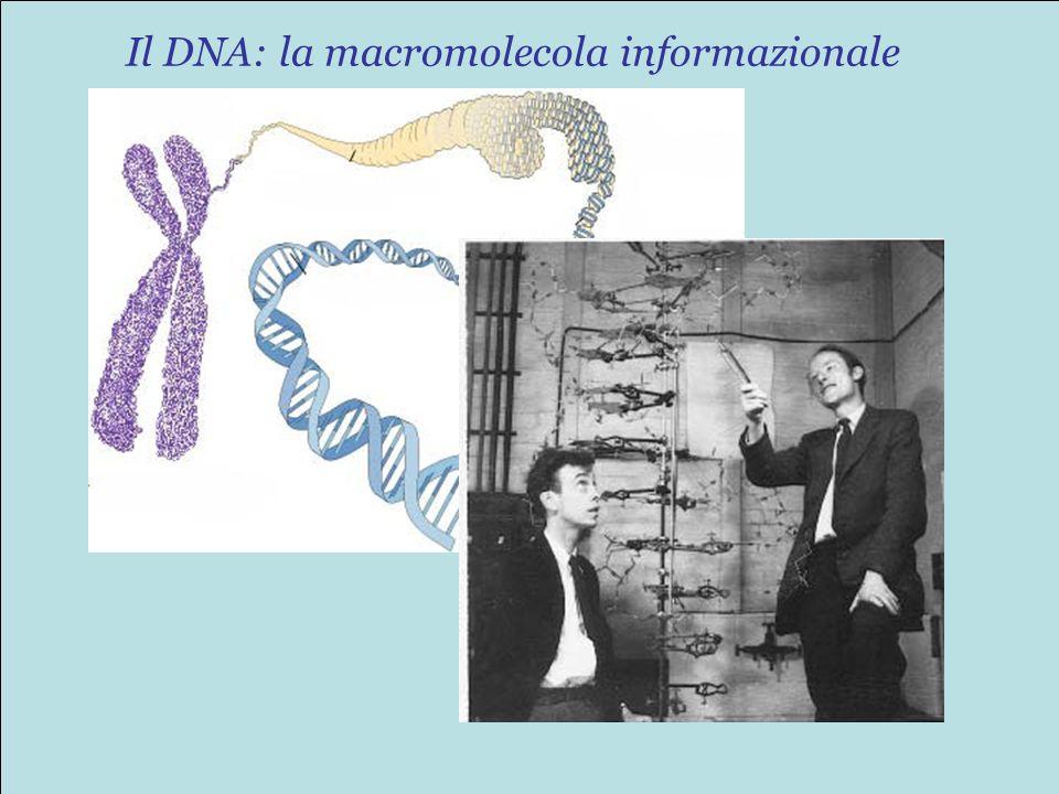 Il DNA: la macromolecola informazionale