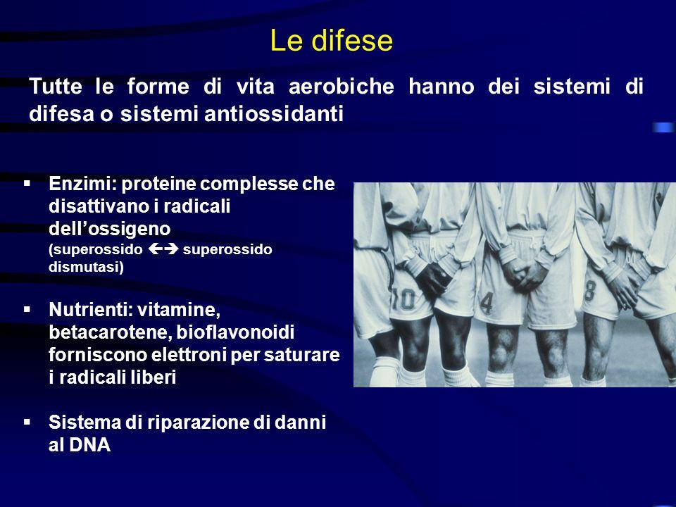 Le difese Tutte le forme di vita aerobiche hanno dei sistemi di difesa o sistemi antiossidanti Enzimi: proteine complesse che disattivano i radicali d