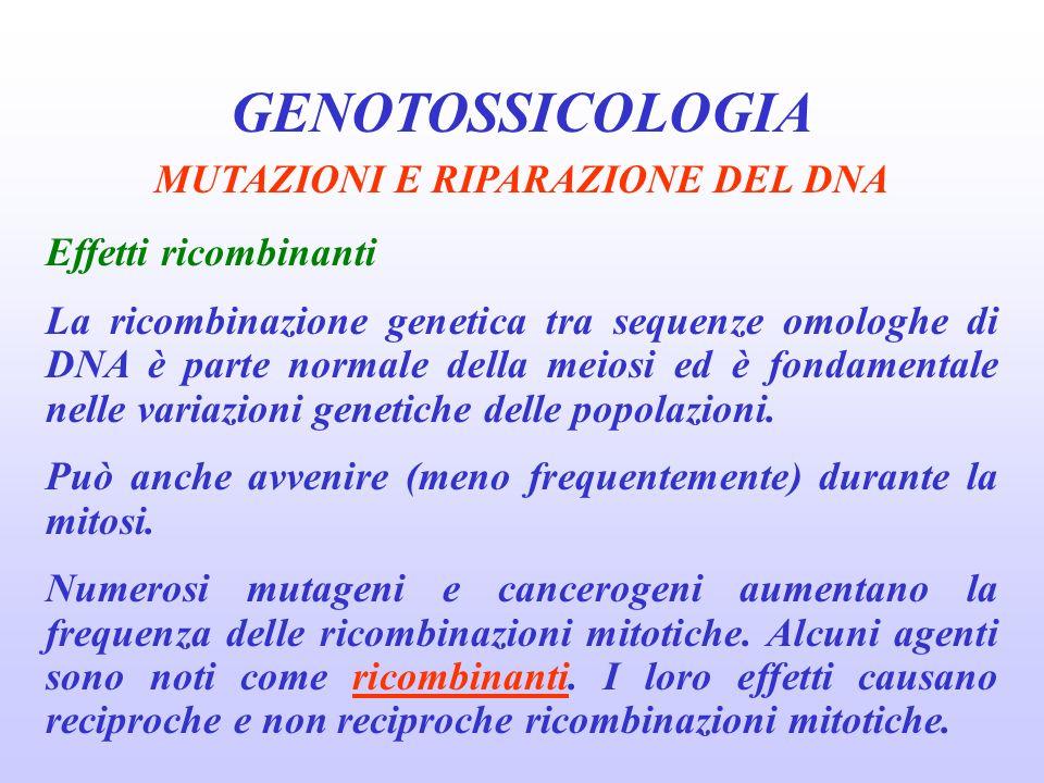 GENOTOSSICOLOGIA MUTAZIONI E RIPARAZIONE DEL DNA Effetti ricombinanti La ricombinazione genetica tra sequenze omologhe di DNA è parte normale della me