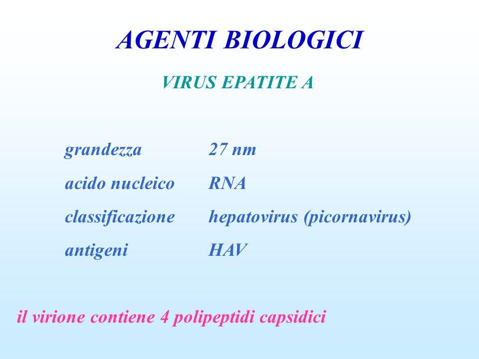 AGENTI BIOLOGICI VIRUS EPATITE A grandezza27 nm acido nucleicoRNA classificazionehepatovirus (picornavirus) antigeniHAV il virione contiene 4 polipept