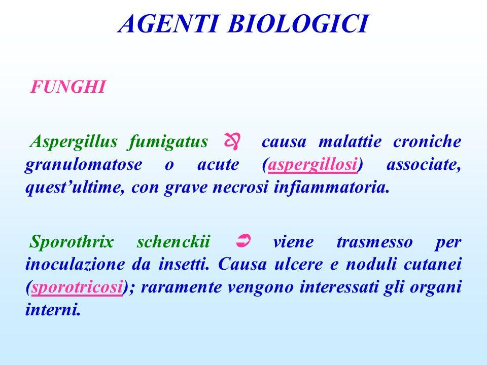 AGENTI BIOLOGICI FUNGHI Aspergillus fumigatus causa malattie croniche granulomatose o acute (aspergillosi) associate, questultime, con grave necrosi i