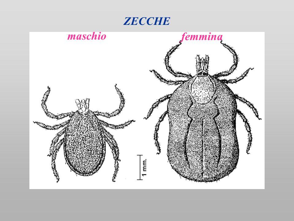 maschio femmina ZECCHE