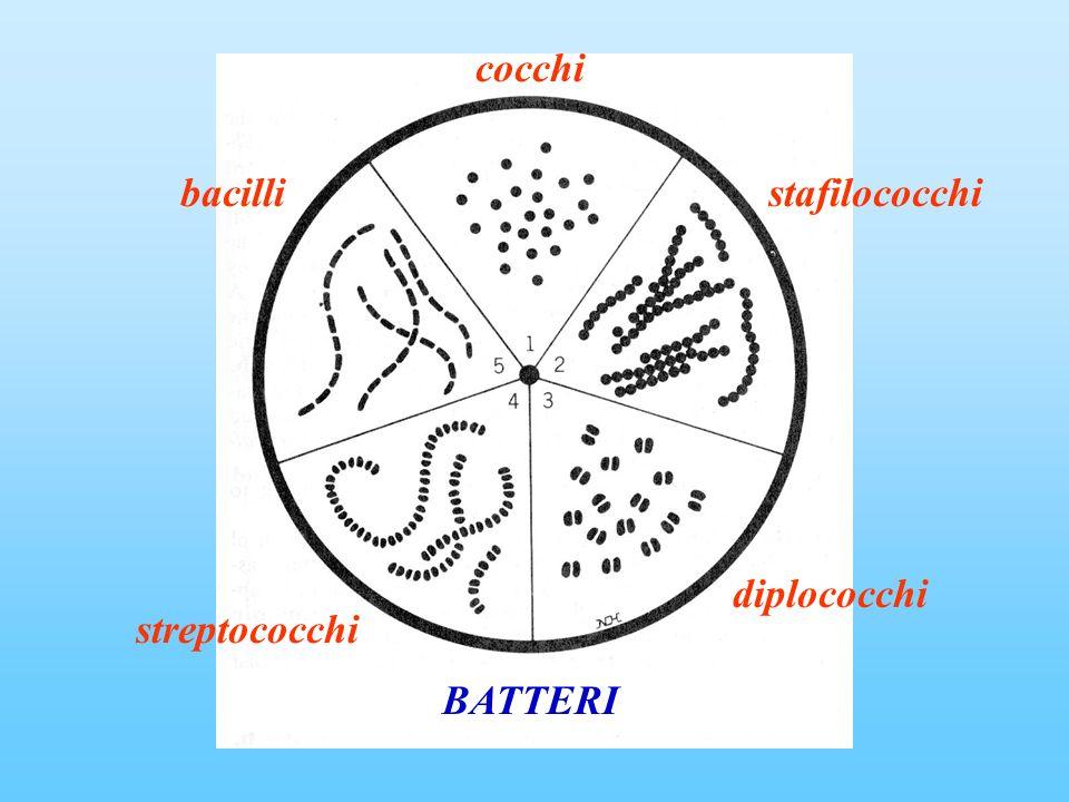 cocchi stafilococchi diplococchi streptococchi bacilli BATTERI