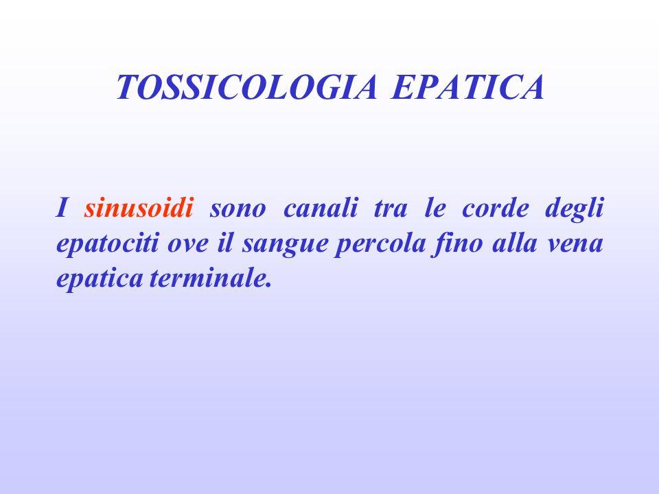 I sinusoidi sono canali tra le corde degli epatociti ove il sangue percola fino alla vena epatica terminale. TOSSICOLOGIA EPATICA