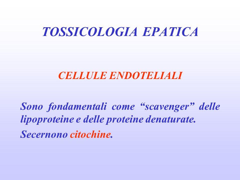 CELLULE ENDOTELIALI Sono fondamentali come scavenger delle lipoproteine e delle proteine denaturate. Secernono citochine. TOSSICOLOGIA EPATICA