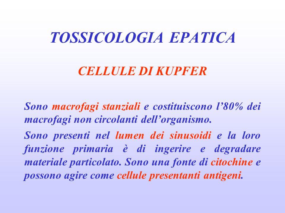 CELLULE DI KUPFER Sono macrofagi stanziali e costituiscono l80% dei macrofagi non circolanti dellorganismo. Sono presenti nel lumen dei sinusoidi e la