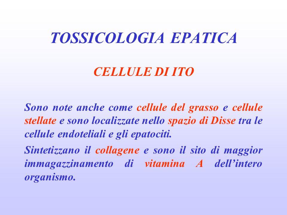 CELLULE DI ITO Sono note anche come cellule del grasso e cellule stellate e sono localizzate nello spazio di Disse tra le cellule endoteliali e gli ep